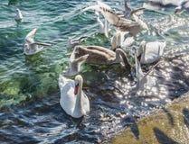 Feeding swans and gulls at seashore Royalty Free Stock Image