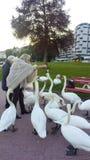 Feeding swans royalty free stock photo