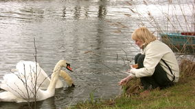 Feeding swans. Woman feeding two swans on the river stock video footage