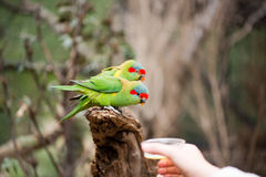 Feeding swift parrots Stock Image