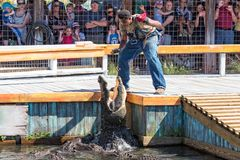 Free Feeding The Alligators At Gatorland Stock Photography - 143920612