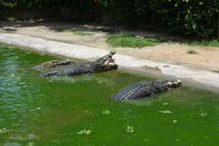 Feeding three huge crocodiles sitting in the green water near the shore. Crocodile catches whole chicken on the fly stock photos