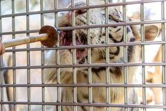 Feeding tiger Stock Photos