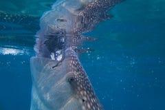 Feeding Tiger Shark. Tiger Shark at the morning breakfast. Feeding Tiger Shark Royalty Free Stock Photography