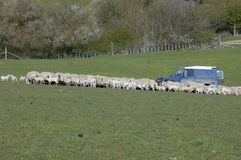 Feeding Time. A farmer feeding a flock of sheep from his jeep Royalty Free Stock Image