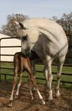 Feeding time. Arabian mare with week old nursing foal Stock Images