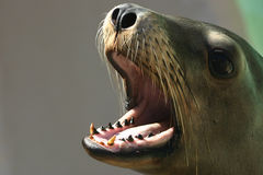 Feeding Time. California seal barks in anticipation of a fishy meal Royalty Free Stock Photos