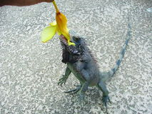 Feeding Time. Hand fed Iguana Stock Photography
