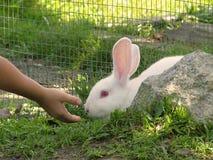 Feeding Time. Feeding The White Rabbit Stock Photography