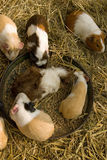 Feeding time. Guinea pigs crowd around their feeding bowl stock image