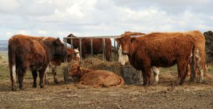Feeding Time. English beef cattle eat silage from a round feeder in northumberland Stock Photos