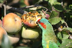 Feeding time for agricultural pests. Wasps and bird eating a ripe apple Royalty Free Stock Photos