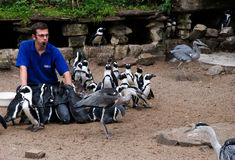 Feeding time, Artis. Feeding time at Artis zoo for the African penguins and other birds Royalty Free Stock Photography