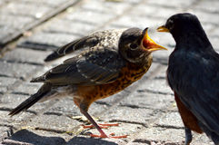 Feeding Time. A baby Robin begs for food from it's mother Stock Photo