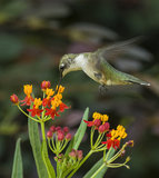 Black-Chinned Hummingbird Feeding. A black-chinned hummingbird feeding on butterfly weed Royalty Free Stock Image