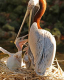 Feeding time brown Pelicans. Brown Pelican feeding her young chicks Stock Photo