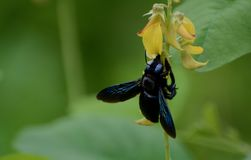 Feeding time for the carpenter bee. A carpenter bee feeding from a bright yellow flower royalty free stock images