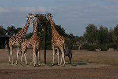 Feeding time for giraffes. stock images