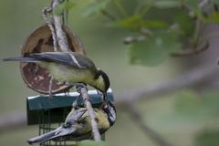 Feeding time. A great tit feeding his young Stock Photos