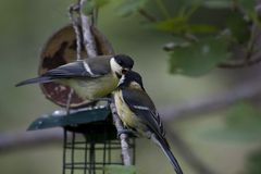 Feeding time. A great tit feeding his young Stock Image
