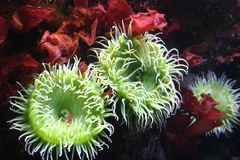 Feeding time for green sea anemone. Green sea anemones feeding on tiny shrimp in a bed of red sea weed stock images