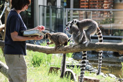 Feeding time for group/troop of lemurs stock photography
