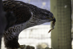Feeding Time. Here the Falcon, who was wounded, feeds on chicks that are provided. Looks finger licking good Stock Photography