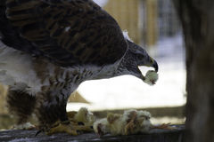Feeding Time. Here the Falcon, who was wounded, feeds on chicks that are provided. Looks finger licking good Royalty Free Stock Images