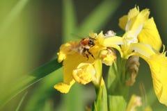 Feeding time III - yellow iris and bumblebee Stock Photos