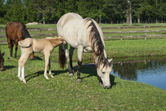 Feeding Time for Mare & Foal Royalty Free Stock Image