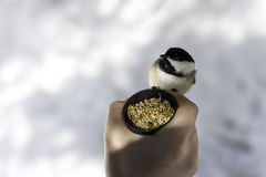 Feeding time. One of the little chickadees that are tame enough to hand feed Royalty Free Stock Images