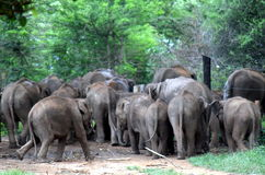 Feeding Time is Over, Pinnawala Elephant Orphanage, Sri Lanka royalty free stock photography