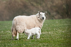 Feeding Time (Ovis aries). Ewe & lamb in pasture stock photography