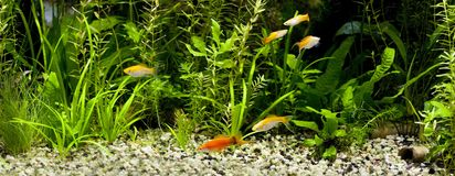 Feeding time in planted aquarium  Stock Images