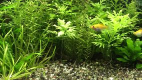 Feeding time in planted aquarium stock video footage