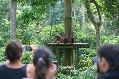 Tourists watch a feeding of Orangutans in Sepilok royalty free stock image