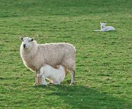 Feeding Time - Sheep (Ovis aries) Ewe & Lamb. With another lamb in background stock photography