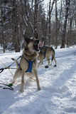 Feeding time for sled dogs Royalty Free Stock Images