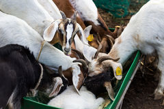 Feeding time. A small herd of goats jostling for feed Stock Image