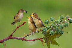 Feeding time. Sparrow above the branch to provide food to baby royalty free stock image