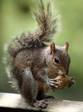 Feeding time for a Squirrel. Close up a squirrel eating Royalty Free Stock Images