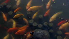 Feeding Time for Turtles and Pond Fish stock footage