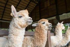 Feeding to Alpaka Stock Photos