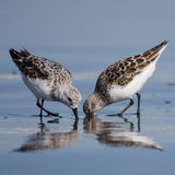 Feeding Together - Heads in the sand. Sanderling (Calidris alba) feeding with beaks in the sand. Washington, USA Stock Image