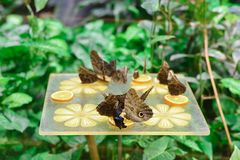 Feeding Tropical blue morpho butterflies royalty free stock image