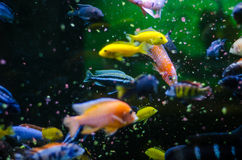 Feeding tropical fish Stock Photos