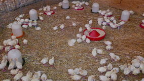 Feeding turkey poult on the farm. Small chickens turkeys at a poultry farm stock video footage