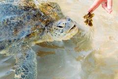 Feeding turtle Royalty Free Stock Photography