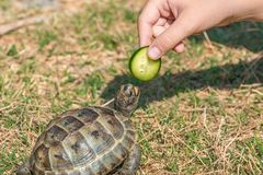 Feeding the turtle. Land based Central Asian turtle Stock Image