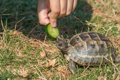 Feeding the turtle. Land based Central Asian turtle Royalty Free Stock Images